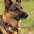 German shepherd dog — Stock Photo #6628836