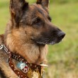 Germshepherd dog — Stock Photo #6628836