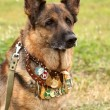 German shepherd dog — Stock Photo #6628892