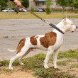 Dog on a leash — Stock Photo