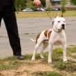 Dog on a leash — Stock Photo #6629064