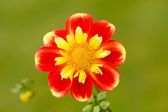 Beautiful Dahlia — Stock Photo