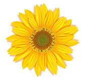 Vector sunflowers on a white background — Stock Vector