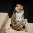 Monkey (macaque) - Stock Photo