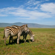 Two zebras in Ngorongoro crater, Tanzania — Stock Photo #5636743