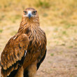 Big steppe eagle (Aquila nipalensis) in Kazahstan — Stock Photo