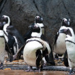 Royalty-Free Stock Photo: Group of african penguins, snapped in Singapore Zoo