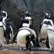 Group of african penguins, snapped in Singapore Zoo — Stock Photo