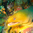 Moray eel showing teeth while getting cleaned by cleaner shrimp — Stock Photo
