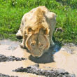 Big lion drinking water from puddle in Serengeti national park, Tanzania — Stock Photo #5754301