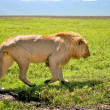 Big lion walking next to road in Serengeti national park, Tanzania — Zdjęcie stockowe