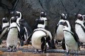 组的非洲企鹅,在新加坡动物园抢购 — 图库照片
