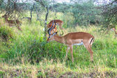 Wild impala antelope in Serengeti National Park, Tanzania — Stock Photo