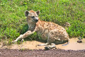 Spotted hyena resting on a road in Serengeti national park — Stock Photo
