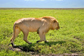 Grote leeuw lopen naast weg in serengeti national park, tanzania — Stockfoto