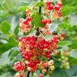 Red unripe currant on bush — Stock Photo