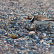 Ringed plover — Stock Photo