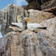 Stock Photo: Gannets on cliffs