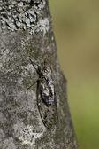 цикада — Стоковое фото