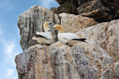 Gannets on cliffs — Stock Photo