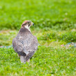 Lanner falcon — Stock Photo #6120706