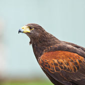 Harris Hawk — Stock Photo