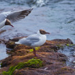 Larus ridibundus - Stock Photo