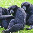 Siamang gibbon — Stock Photo