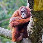 Kvinnliga orangutang — Stockfoto