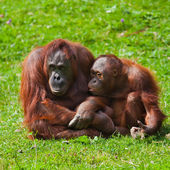 Orangutan mother and child — Stock Photo