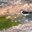 Red-rumped Swallow — Stock Photo