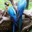 Pair of blue parrots — Stock Photo #6162826
