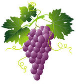 Bunch of pink grapes — Stock Vector