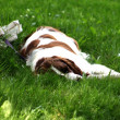 Foto Stock: Sleeping dog2