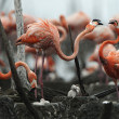 Great Flamingo  (Phoenicopterus ruber) - Stock Photo