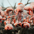 Great Flamingo  (Phoenicopterus ruber) — Stock Photo
