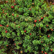 Cowberry or lingonberry (Vaccinium vitis-idaea ) — Stock Photo