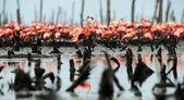 Great Flamingo (Phoenicopterus ruber) — Stock Photo