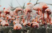 Great Flamingo (Phoenicopterus ruber) — Photo