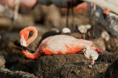 Great Flamingo Baby (Phoenicopterus ruber) — Stock Photo