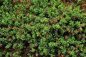 Cowberry or lingonberry (Vaccinium vitis-idaea ) — Stock Photo