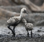 Babys bird of the Caribbean flamingo. — Stock Photo