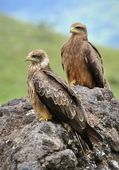 Two Black Kite. — Stock Photo