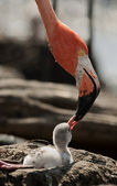 Baby bird of the Caribbean flamingo. — Stock Photo