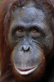 Orangutan Ben. — Stock Photo