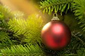 Bola roja en un árbol de navidad real caucásico del abeto — Foto de Stock