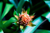 Aechmea fasciata bromeliad flower — Stock Photo