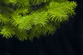 Green branches of a Christmas tree — Stock Photo