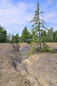 Stunted spruce — Stock Photo