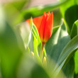 A bud of red tulip — Stock Photo #5545767